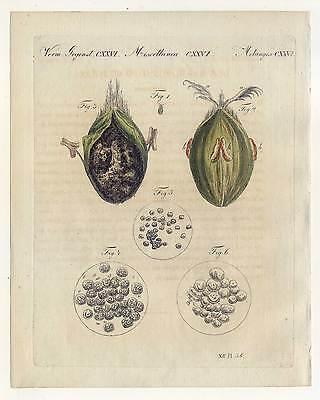 Weizen-Getreide-Brandpilz-Pflanzen - Bertuch-Kupferstich 1810
