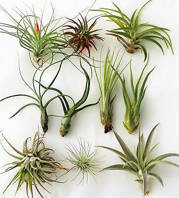 Tillandsia Lot Max Pack 10 Plants Mixed Tillandsias all Different