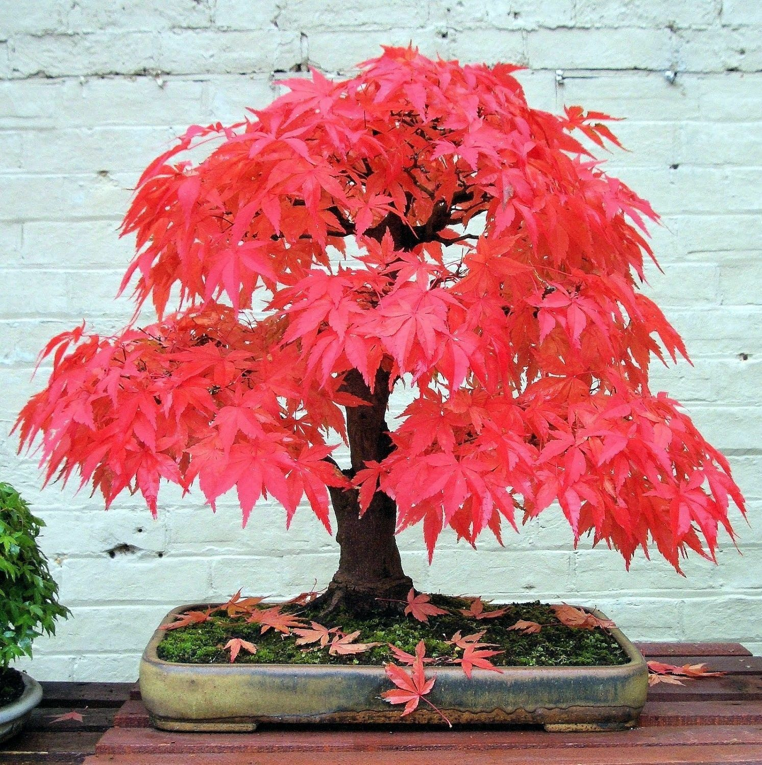 Top 10 Japanese Maple Trees Ebay