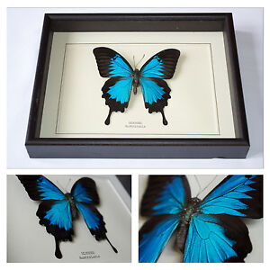 Real Ulysses Butterfly Hand Set and Framed In UK Beautiful Gift - taxidermy