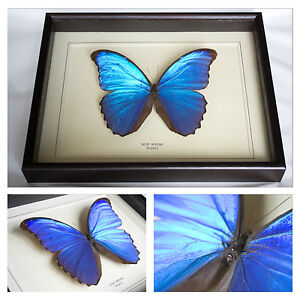 Real-Blue-Morpho-Butterfly-Hand-Set-and-Framed-In-UK-Beautiful-GIft-Taxidermy