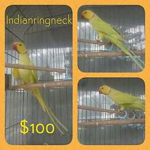 Indian ringneck Cooroy Noosa Area Preview