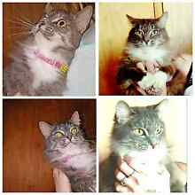 Rag doll / cross free to kind home Eumundi Noosa Area Preview