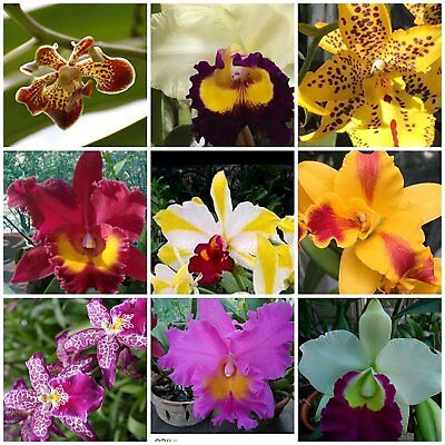4 Live Orchid Plants To Choose  Cattleya  Oncidium  Vanda  Dendrobium  Phalaenop