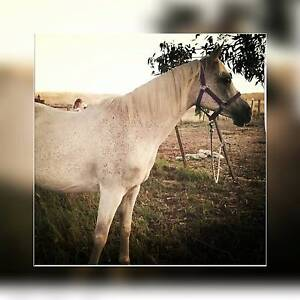 Wanted Registered Horse/Pony Hobart CBD Hobart City Preview