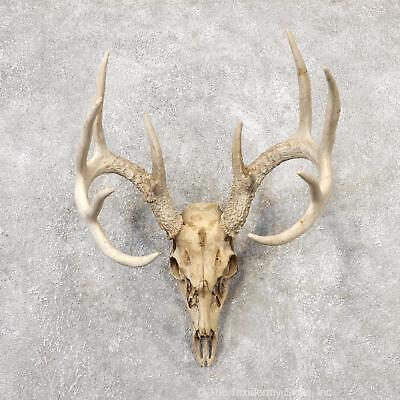 environmentally whitened whitetail skulls