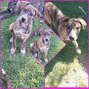 Mastiff X Cattle Dog Pup Taree Greater Taree Area Preview
