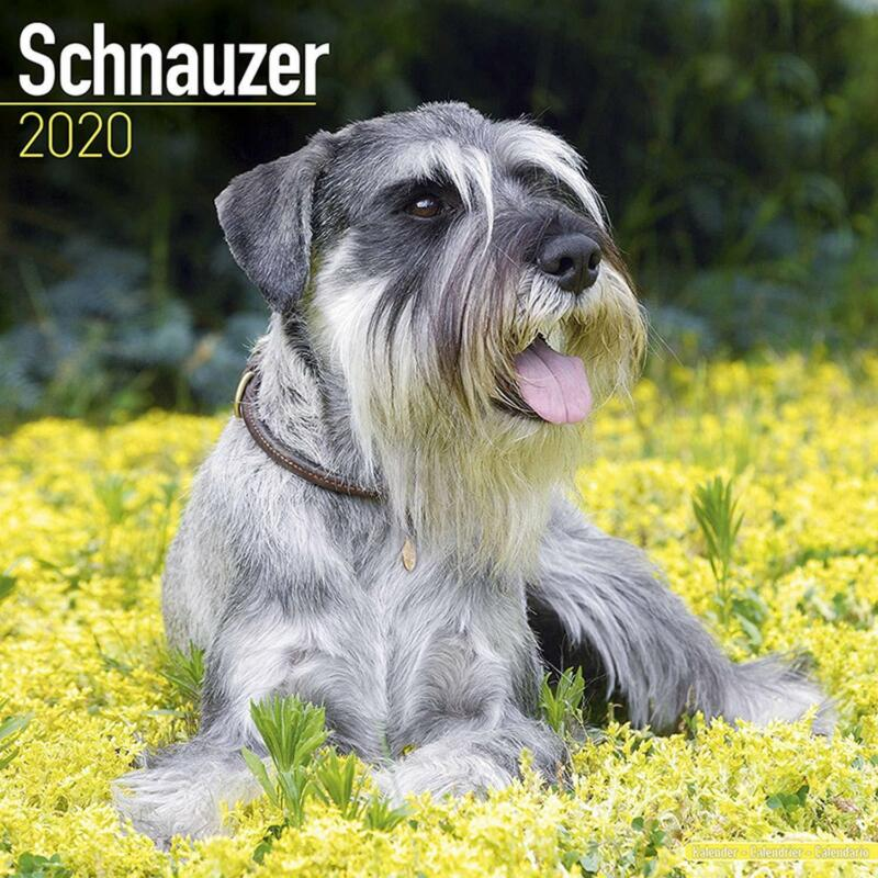 Schnauzers+2020+Official+Square+Wall+Calendar