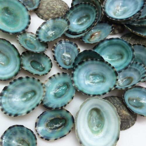 "Green Limpet Shells Craft Sea Shells, 1/2""-1"" Free Shipping"