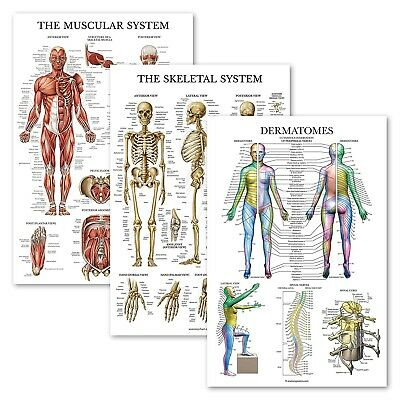 Human Anatomy Posters 3 Pcs Muscle Skeleton Muscular Skeletal System 18 X 27