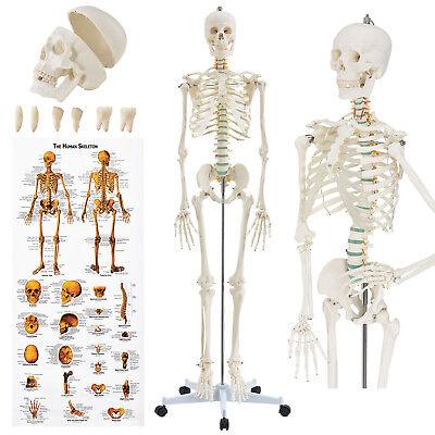 Skelett Modell Menschliches Lebensgroß Anatomie Lehrmodell Stativ 181cm Juskys®