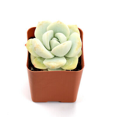 Succulent Plants Potted, Echeveria Ice Green, Best for DIY Projects Fairy