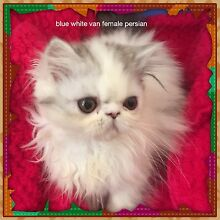 Persian pedigree kittens VARIOUS COLOURS................   PERTH Maddington Gosnells Area Preview