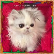 Persian pedigree kittens VARIOUS COLOURS Maddington Gosnells Area Preview