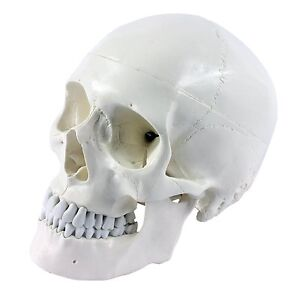 Schädel Modell, menschlich, 3-teilig, lebensgross, weiss, Anatomie, Studium
