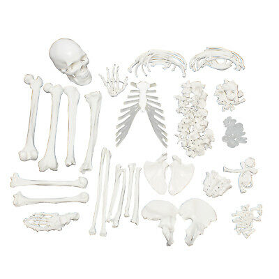 MonMed | Medical Skeleton Model Life Size Disarticulated Human Skeleton -