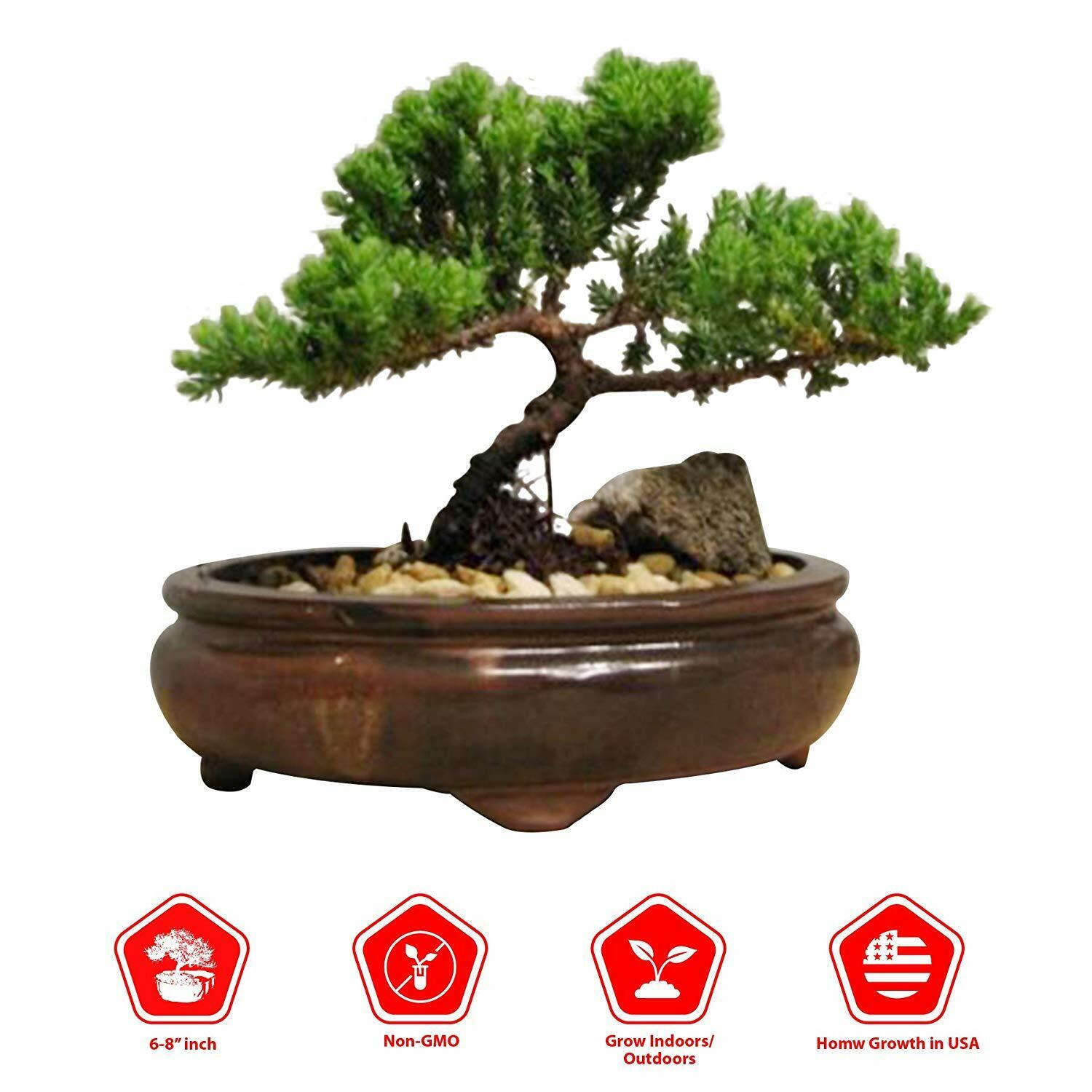 Japanese Cinnamon Tree Seeds Plants Dwarf Bonsai Evergreen Grove Indoor 5pcs For Sale Online Ebay