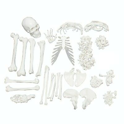 Full Disarticulated Human Skeleton, Anatomy Model with Skull 62 Inches -