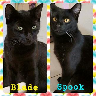 Blade/Spook (Adopt me Kittens)