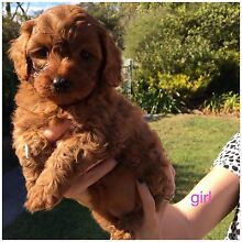 Beautiful cavoodle puppies Gilmore Tuggeranong Preview