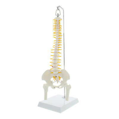 Monmed Mini Vertebral Column Model W Pelvis Flexible Spine Model With Stand