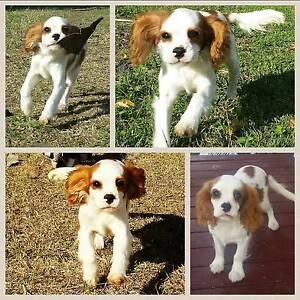 PEDIGREE Cavalier King Charles Spaniel Puppy - Registered Breeder Willowbank Ipswich City Preview