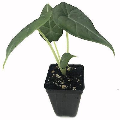 Maharani Elephant Ear Alocasia Live Plant Foliage Tropical -