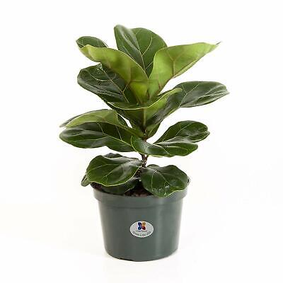 Ficus Lyrata 'fiddle Leaf Fig' 20 Seeds