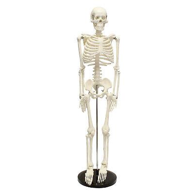 Monmed Medical Skeleton Model Small Human Skeleton Model For Anatomy 33.5 Inch
