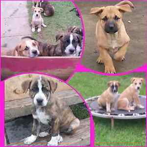Beautiful Cattle Dog x Mastiff Puppies Tinonee Greater Taree Area Preview