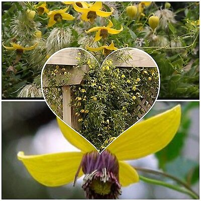 CLEMATIS Helios, Yellow flowers fast growing! Hardy climber vine, Wildlife bee ()