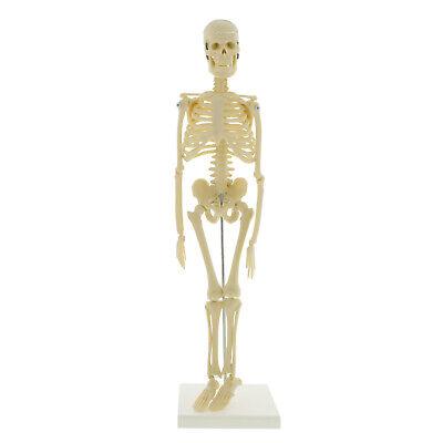 Monmed Skeleton - Human Skeleton Model For Anatomy Anatomical Skeleton 17 Inch