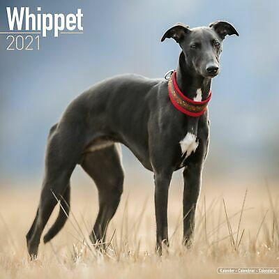 Whippet Calendar 2021 Premium Dog Breed Calendars