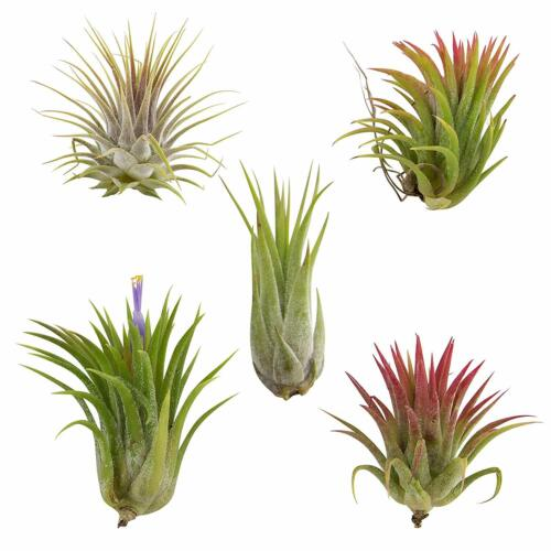 Tillandsia Ionantha Assorted 5 Pack Color Changing Air Plants FREE SHIPPING