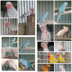 VARIOUS BIRDS FOR SALE Mount Nasura Armadale Area Preview