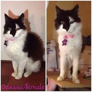 Adopt a Mature Street Cat - Odessa Elizabeth Playford Area Preview