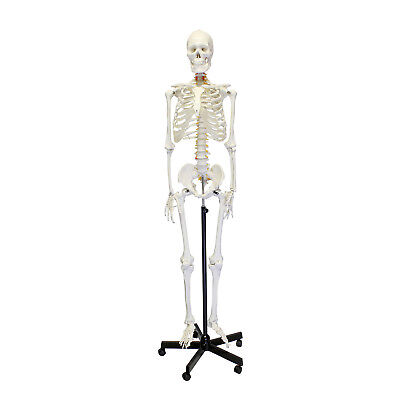 Monmed Medical Skeleton Model Life Size 70 In Human Skeleton Model For Anatomy