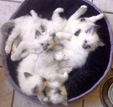Beautiful Birman Kittens for Sale Glass House Mountains Caloundra Area Preview
