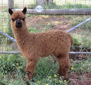 ALPACA FOR SALE VERY CUTE, IDEAL PET Mundaring Area Preview