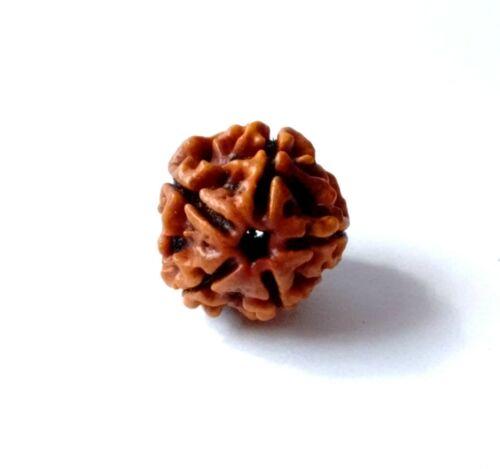 5 Mukhi Rudraksha Five Face Rudraksh Beads Nepal Origin Brown Color