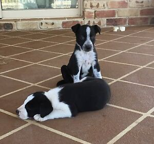 Border collie cross Kelpie pup for sale Withcott Lockyer Valley Preview