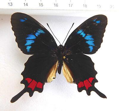 PAIR parides arcas Ex-pupae El Salvador  Papilio ELS 03 A//A