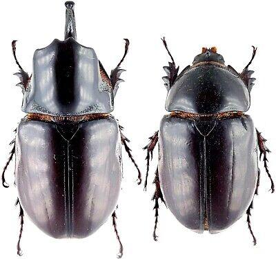 Big Males 40~45mm ....!! Insect Central Peru Golofa spatha