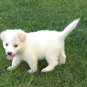 Border collie mixed lab