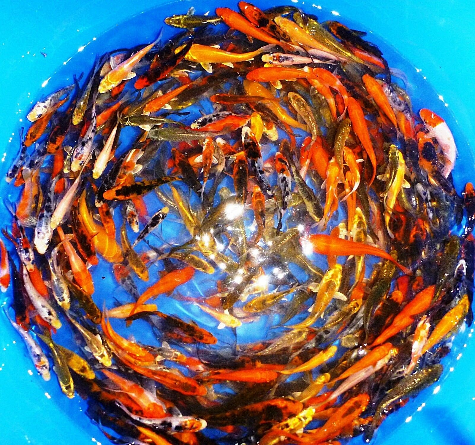 25 lot assorted 3 4 live koi standard and butterfly fin for Live butterfly koi for sale