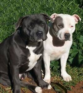 English Staffordshire Bull Terriers Blue Kwinana Town Centre Kwinana Area Preview