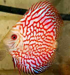 Red pigeon blood discus Ellenbrook Swan Area Preview
