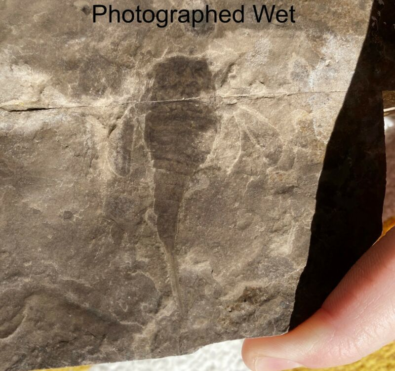 2 3/8 inch Silurian eurypterid from bertie fm, new york - eurypterus remipes