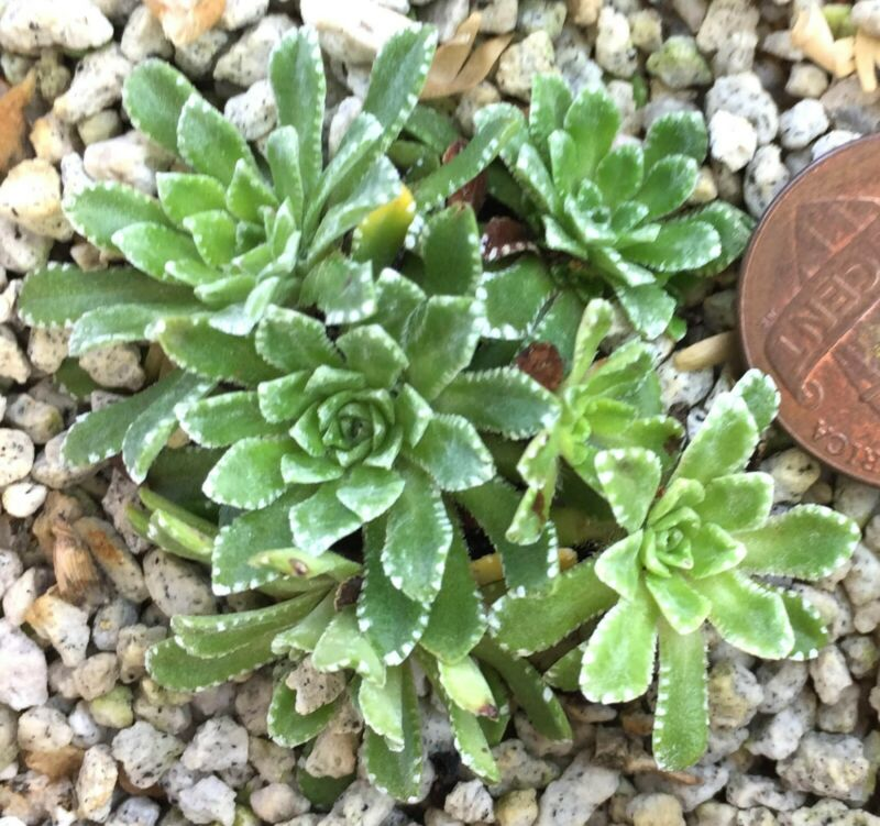 Succulent Plant--Saxifraga paniculata
