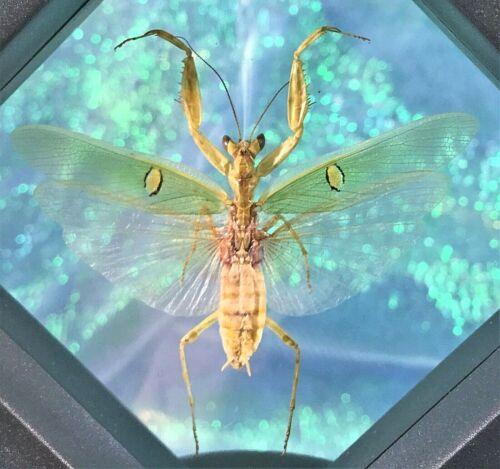 W12 Taxidermy Entomology Jewel Mantis Framed display collectible male Oddity